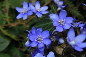Das Leberblümchen oder auch Vorwitzchen genannt, weil die Blüten vor den Blättern erscheinen