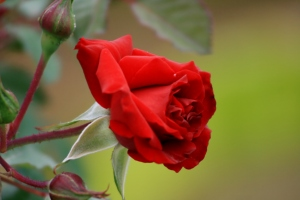 Rosen stechen durch das Tuch