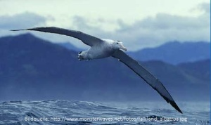 falkland_albatros