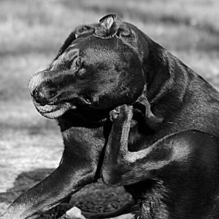 schwedenhund